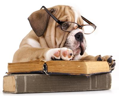 a bulldog with glasses reading